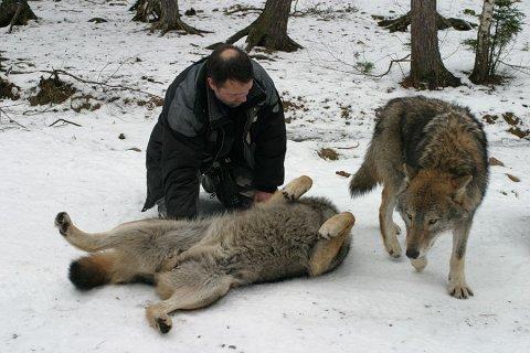 hvad spiser ulve